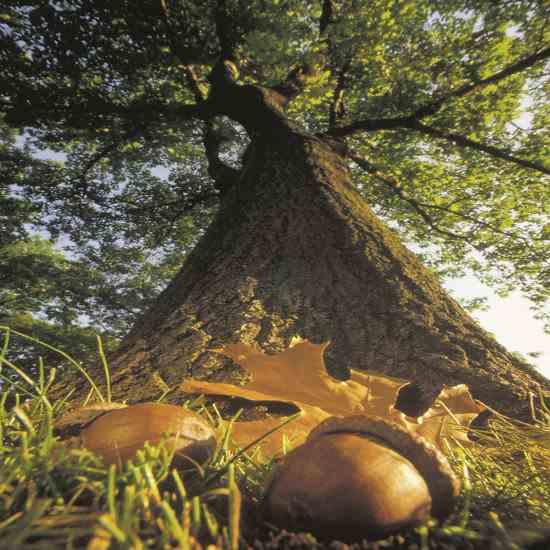acorn tree.jpg